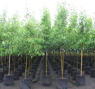 Air Pot Grown Supertrees